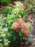 krzewy ogrodowe, krzewy ozdobne, krzewy trudniejsze w uprawie, krzwy liściaste, enkiant dzwonkowaty