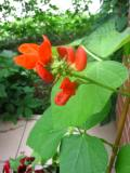 fasola wielokwiatowa, zdjęcia roślin