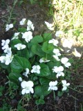 Ogrody, zdjęcia fiołek motylkowaty kwiat, fiołki w ogrodzie