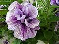 kolor fioletowy lila i purpurowy w ogrodzie