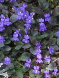 Ogrody, zdjęcia fiołki wonne, fiolkie wonne w ogrodzie, uprawa fiołków