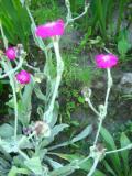 kwiaty trudniejsze w uprawie, kwiaty dwuletnie, firletka kwiecista, kwiaty do ogródka