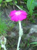 Ogrodnik-amator, opis rośliny, Firletka kwiecista, Lychnis coronaria, Rose campion, uprawa firletki kwiecistej,  kwiaty dwuletnie, krótkowieczne byliny, kwiaty wieloletnie,  kwiaty letnie, kwiaty różowe, białe, amaranotwe, fioletowe, rośliny do słońca, rośliny na każdą glebę, kwiaty do ogrodu wiejskiego,  kwiaty ogrodowe, kwiaty do ogrodu naturalistycznego