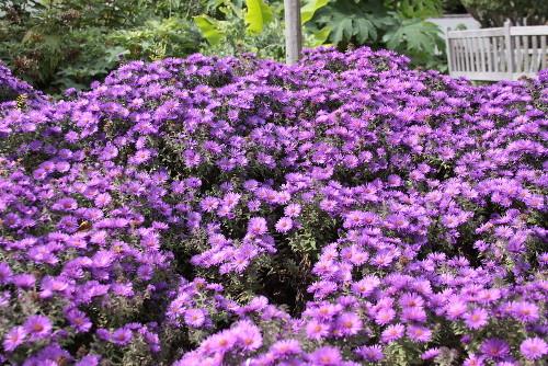 aster nowoangielski, zdjęcia ogrodowe, zdjęcia rośliny, ogrodów
