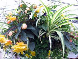 begonie zwisające w koszyku, żólta begonia z zielistka i bratkiem kaskadowym, zdjęcia ogrodów,  balkony, tarasy, dodatki ogrodowe,  rośliny ozdobne, aranżacje, ogród, urządzanie ogrodu, aranżacje z roślin, galeria ogrodowa, begonia zwisająca