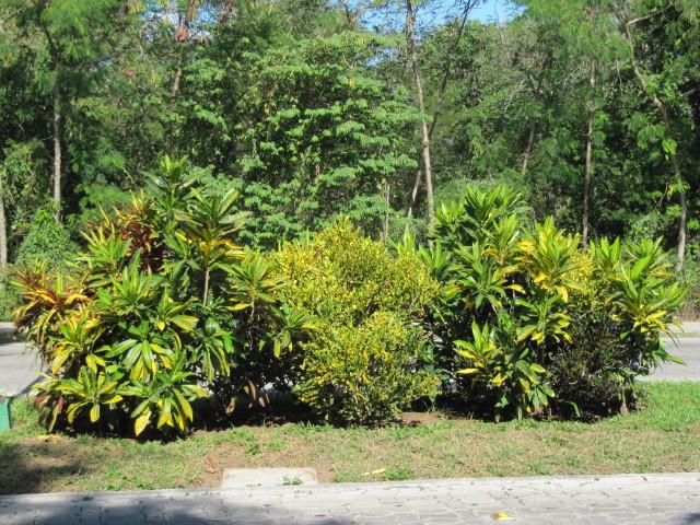 kroton, trójskrzyn, zdjęcia ogrodowe, zdjęcia rośliny, ogrodów