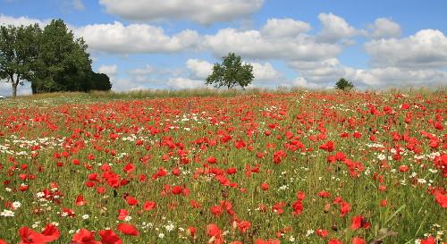 łąka kwietna, założenie łaki kwietnej, ogród naturalistyczny