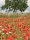 Ogrody, zdjęcia, łąka kwietna, zakladanie łąki kwietnej w ogrodzie