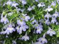 Ogrodnik-amator, opis rośliny, Lobelia, stroiczka, Indian Tobacco, Asthma Weed,Pukeweed or Vomitwort, uprawa lobelii, pielęgnacja stroiczki, opis rośliny, kwiat, Kwiaty jednoroczne uprawiane z rozsady, kwiaty w niebieskim, fioletowym, szafirowym kolorze, kwiaty letnie, kwiaty łatwe w uprawie