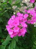 Ogrody, rośliny  wieloletnie, byliny, floksy płomyki