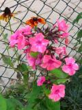 kwiaty ogrodowe, kwiaty łatwe w uprawie, kwiaty wieloletnie, floksy wiechowate, floks płomyk