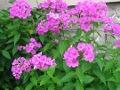 Ogrodnik-amator, opis rośliny, Floks płomyk,  Phlox paniculata, Garden phlox, uprawa floksów wiechowatych, opis rośliny, Kwiaty wieloletnie, byliny, kwiaty ogrodowe, kwiaty pchnące, wysokie byliny, kwiaty cięte, kwiaty początku lata,  kwiaty letnie, kwiaty łatwe w uprawie
