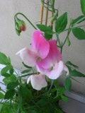 ogród pnącza ogrodowe , kwiaty, groszek pachnacy