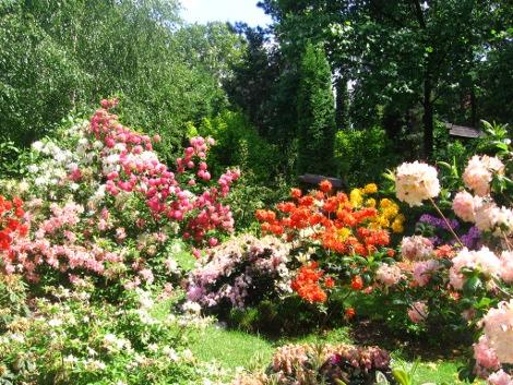 rośliny do cienia, rośliny na miejsca cieniste,urządzanie  ogrodu, azalie i rododoendrony, kwiaty wiosenne, kompozycje ogrodowe, galeria ogrodow