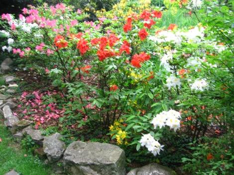 azalie ogodowe, zdjęcia ogrodów, galeria ogrodowa maj, rośliny ozdobne, aranżacje, ogród, urządzanie ogrodu