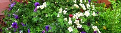 Ogrody, rosliny balkonowe, wysiewy na rozsadę