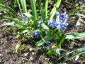Ogrodnik-amator, opis rośliny, Cebulica syberyjska,  Scilla siberica, uprawa cebulicy syberyjskiej, Ogrodnik-amator. Uprawa cebulicy syberyjskiej, opis rośliny. cebulica kwiat, kwiaty cebulicy, cebulica kwiaty