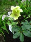 kwiaty ogrodowe, kwiaty trudniejsze w uprawie, kwiaty wieloletnie, ciemiernik ogrodowy