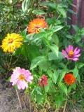 kwiaty trudniejsze w uprawie, kwiaty jednoroczne, cynia, kwiaty do ogródka