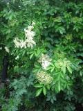 krzewy ogrodowe, krzewy łatwe w uprawie, krzwy liściaste, czarny bez