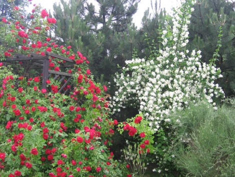 czerwiec róża pnaca i jaśminowiec