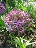 czosnek białawy krzysztofa,,  ogród ozdobny , rośliny cebulowe i bulwiaste, roślin narabaty ametystowe kwiaty