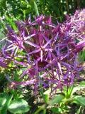 Czosnek białawy, czosnek Krzysztofa, Allium christophii, Star of Persia, uprawa czosnku bialawego