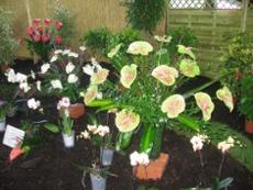 kwitnące anturium, kwitnące stroczyki, zdjęcia ogrodowe