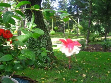 rośliny do cienia, rośliny na miejsca cieniste, kompozycje ogrodowe,  galeria ogrodowa