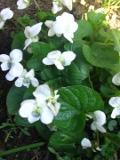 Ogrodnik-amator, opis rośliny, Fiołek motylkowaty, Viola sororia,  Common Blue Violet, uprawa fiołków motylkowatych, kwiaty wieloletnie, byliny, kwiaty jesienne, kwiaty białe, niebieskie, fioletowe, kwiaty na skalniak,  kwiaty ogrodowe, kwiaty do oczka wodnego, kwiaty pod drzewa i krzewy, kwiaty wiosny