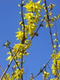 krzewy ogrodowe, krzewy łatwe w uprawie, krzewy liściaste, forsycja