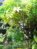 Ogrodnik-amator, opis rośliny, Glicynia chińska, Słodlin, Wisteria, Wisteria sinensis, Chinese wisteria, uprawa glicynii, uprawa wisterii, pnącza kwitnące pod koniec wiosny, pnącze o niebieskofioletowych kwiatach, pnącze o białych kwiatach, pnącza o dużych rozmiarach