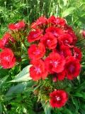 Ogrodnik-amator, opis rośliny, Goździk brodaty, Dianthus barbatus, Sweet William, uprawa goździków brodatych, kwiaty dwuletnie, byliny, kwiaty na miejsca wilgotne, rośliny o ozdobnych kwiatach, pachnące kwiaty, kwiaty ogrodowe