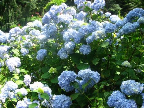 hortensja ogrodowa, hortensje, uprawa hortensji, hortensje w ogrodzie