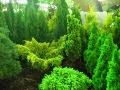 ogrodnik -  iglaki, rośliny iglaste do ogrodu