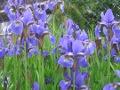 Ogrodnik-amator, opis rośliny, Kosaciec syberyjski, irys syberyjski, Iris sibirica, Siberian iris, uprawa kosaćca syberyjskiego, irysa syberyjskiego, kwiaty wieloletnie, rośliny cebulowe i bulwiaste,  byliny, kwiaty do cienia, rośliny tworzące trawiaste kępy