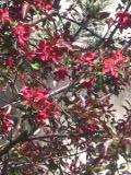 drzewa liściaste jabłoń purpurowa