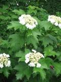 Ogrodnik-amator, opis rośliny, Kalina koralowa, Viburnum macrocephalum, Chinese snowball, uprawa kalina koralowej, krzewy kwitnące pod koniec wiosny, krzewy o białych kwiatach, krzewy o dużych rozmiarach