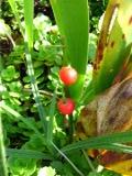 Ogrodnik-amator, opis rośliny, Konwalia, Convallaria majalis, Lily of the Valley, uprawa konwalii, kwiaty wieloletnie, , konwalie, byliny, kwiaty pachnące, kwiaty efektownie kwitnące, kwiaty ogrodowe, kwiaty o białych kwiatach, kwiaty wiosny