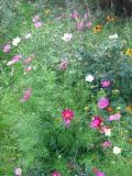 Ogrodnik-amator, opis rośliny, Kosmos podwójnie pierzasty, onętek, Cosmos bipinnatus, uprawa kosmosów, onętków, opis rośliny, Kwiaty jednoroczny siane wprost do gruntu, kwiaty w różowych kolorach, kwiaty letnie, kwiaty łatwe w uprawie,  kwiaty do dużych ogrodów, wysokie kwiaty