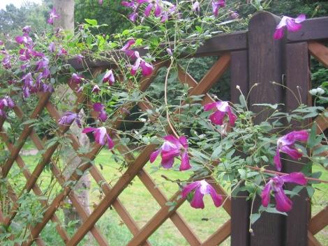 powojnik, klematis, pnącza ogrodowe, pnącza do ogrodu