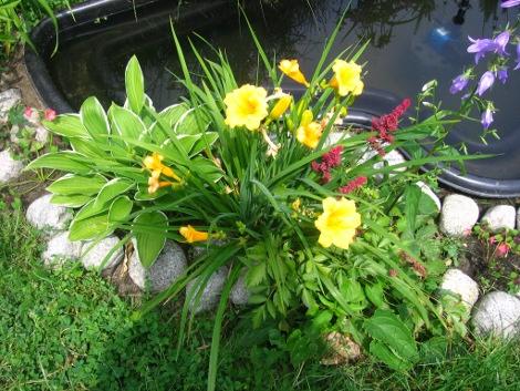 kwiaty lipca, kwiaty ogrodowe, kwiaty do ogrodu, kwiaty nad wodę, liliowce
