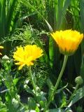 Ogrodnik-amator, opis rośliny, Nagietek, Calendula officinalis, Pot Marigold, uprawa nagietków, opis rośliny, Kwiaty jednoroczny siane wprost do gruntu, kwiaty w ciepłych kolorach, kwiaty letnie