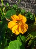 kwiaty, rosliny jednoroczne, rośliny na rabaty, na balkony, nasturcja