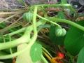 Ogrodnik-amator, opis rośliny, Nasturcja, Tropaeolum majus, uprawa nasturcjii, nasturcje, opis rośliny, Kwiaty jednoroczny siane wprost do gruntu, kwiaty w ciepłych kolorach, kwiaty letnie, kwiaty łatwe w uprawie