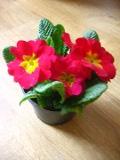 pierwiosnek doniczkowy, prymulka doniczkowa, primula vulgaris, rośliny pokojowe