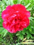 Ogrody, rośliny  , piwonia lekarska