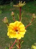 Ogrodnik-amator, opis rośliny, Portulaka wielkokwiatowa, Portulaca grandiflora, Moss Rose or Moss-rose Purslane, uprawa portulaki wielkokwiatowej, opis rośliny, Kwiaty jednoroczny siane wprost do gruntu, kwiaty uprawaiane z rozsady, kwiaty w wielu kolorach, kwiaty letnie