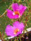 ogród ozdobny , kwiaty, rośliny kwitnące, portulaka, balkony i tarasy