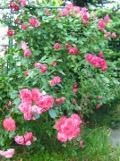 rośliny krzewiaste łatwe w uprawie, róża, krzewy ogrodowe, krzewy ozdobne